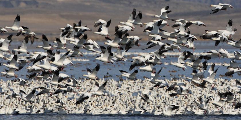 Soaring Snow Geese