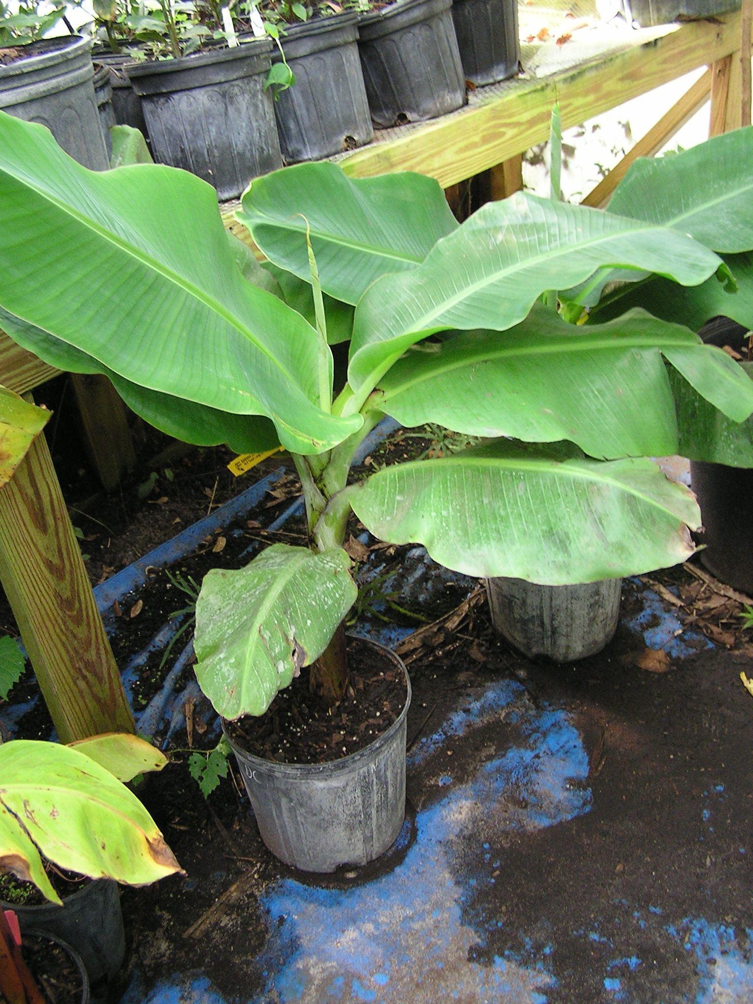 Sunshiny To Purchase Banana We Have No Banana Tree Blue Java Banana Climate Zone Blue Java Banana Tree Hardiness houzz-02 Blue Java Banana