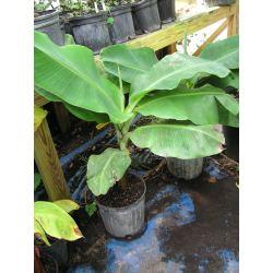 Small Crop Of Blue Java Banana