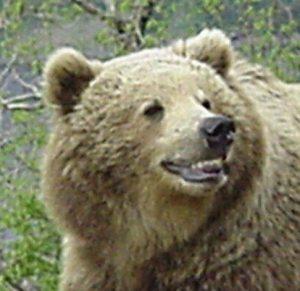 A Smiling Bear avatar Head Shot