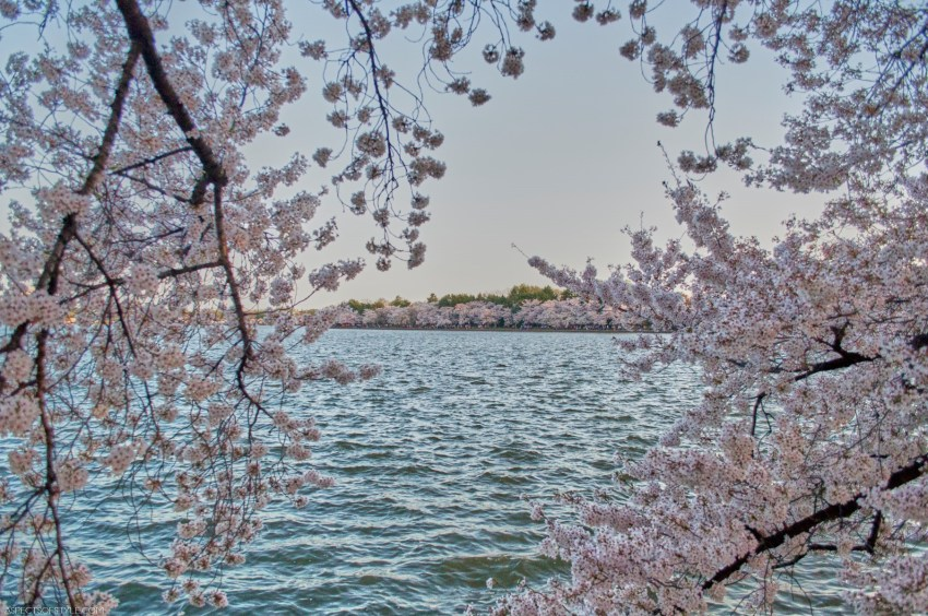 Tidal Basin and Cherry Blossoms, Washington DC