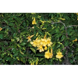 Small Crop Of Cats Claw Vine