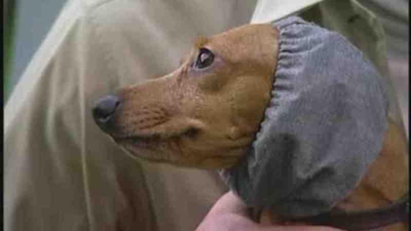 Large Of Homemade Dog Ear Cleaner