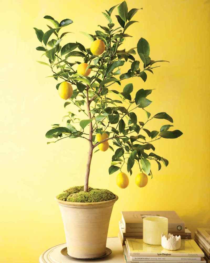 Large Of Dwarf Orange Tree