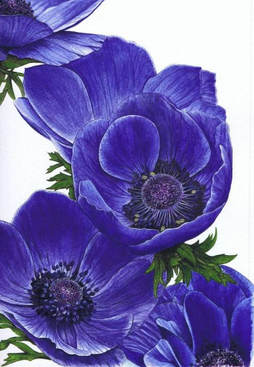 Medium Of Himalayan Blue Poppy