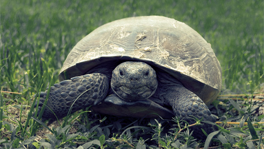 A tortoise, slow and steady.