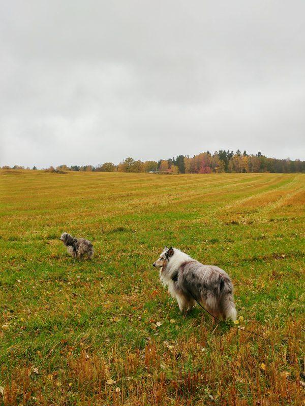 Hundarna på höståker