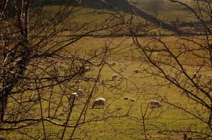 Here comes lambing season!  (Photo: Nicola Stathers via cc license on Flickr)