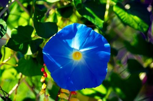 Medium Of Heavenly Blue Morning Glory