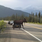 A moose we saw in the road. So big compared the car!
