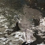 Scary alligator