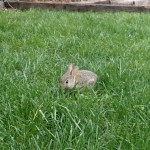 One of two baby bunnies that lives in our yard. They're practically full grown now.