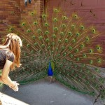 Bowing to Percy the peacock who frequents my grandparents' yard.