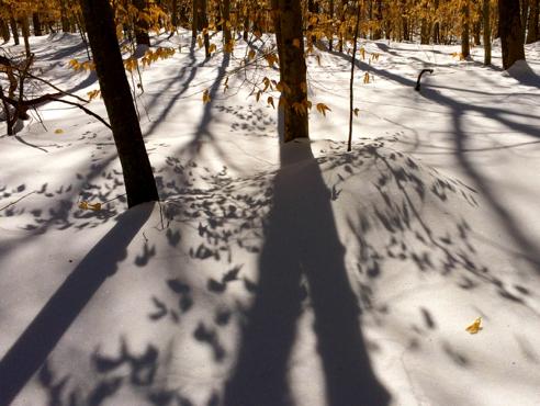 beech leaf shadows