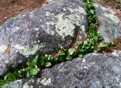 mayflowers in a crevice