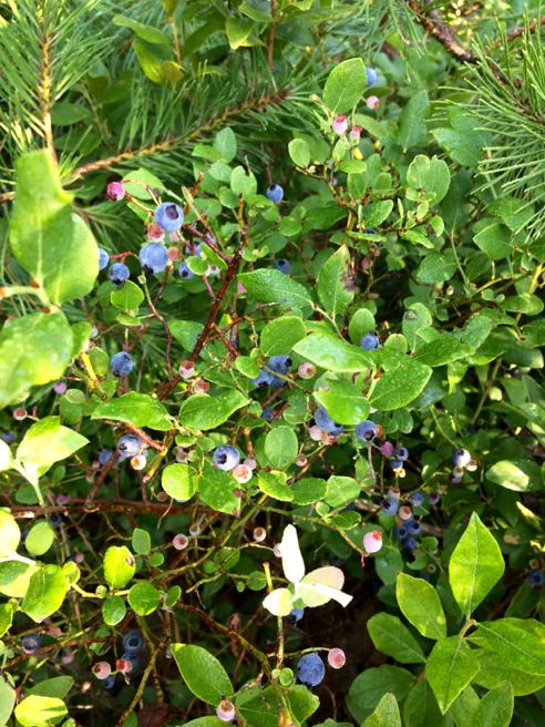 mmmm... blueberries