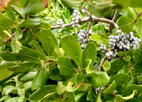 Bayberries