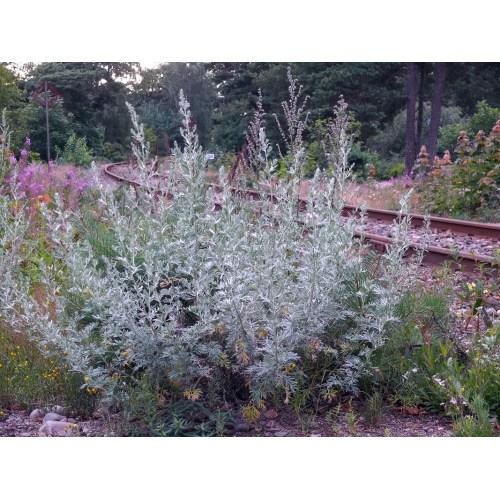 Medium Crop Of Artemisia Silver Mound