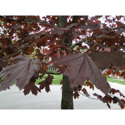 Small Crop Of Crimson King Maple