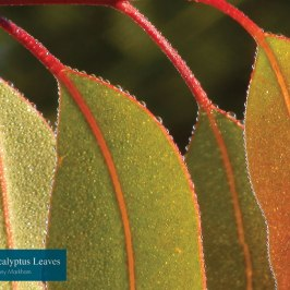 """Four Eucalyptus Leaves"" by Tony Markham"