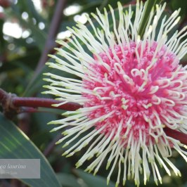 """Hakea laurina"" by Kerrian Sale"