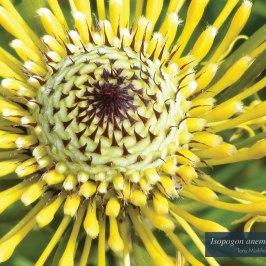 "Isopogon anemonifolius"" by Tony Markham"