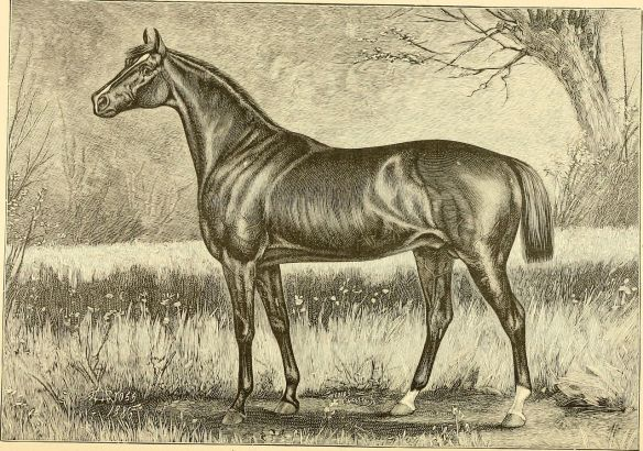 "1883 Derby Winner, Leonatus. Engraving of Leonatus circa 1887, taken from the book ""The Breeds of Live Stock, and The Principles of Heredity"" by James Harvey Sanders (1832-1899)."