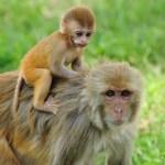 La respuesta inmune de la madre mono modifica el cerebro de su infante