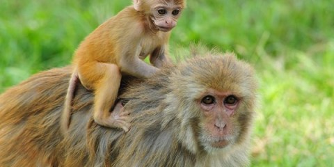 El eslabón perdido: las macaco Rhesus preñadas que fueron infectadas con un virus de prueba tuvieron bebés que tenían comportamientos repetitivos y deficiencias en las habilidades sociales.  Foto: Kathmanduphotog/Shutterstock.com