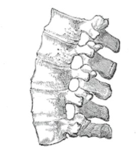 Ankylosis, with an image of the spine from Gray's Anatomy.