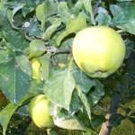 Autumn Harvest Orchard, Pristine Apples