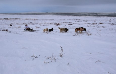 Mikhail Telpin, the dog-sled driver. Chukotka. Photo © 2013 Galya Morrell