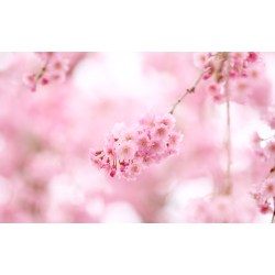 Small Crop Of Cherry Blossom Wallpaper