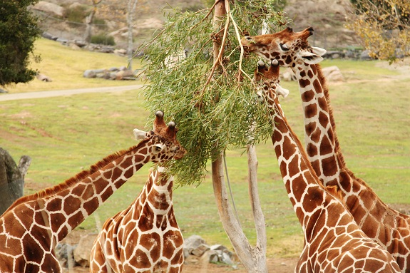 Giraffes at the San Diego Safari Park