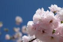 Sakura Cherry Blossoms in Shinjuku Gyoen National Park in Tokyo April 2013