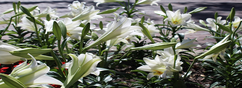 Easter-Lilys-1