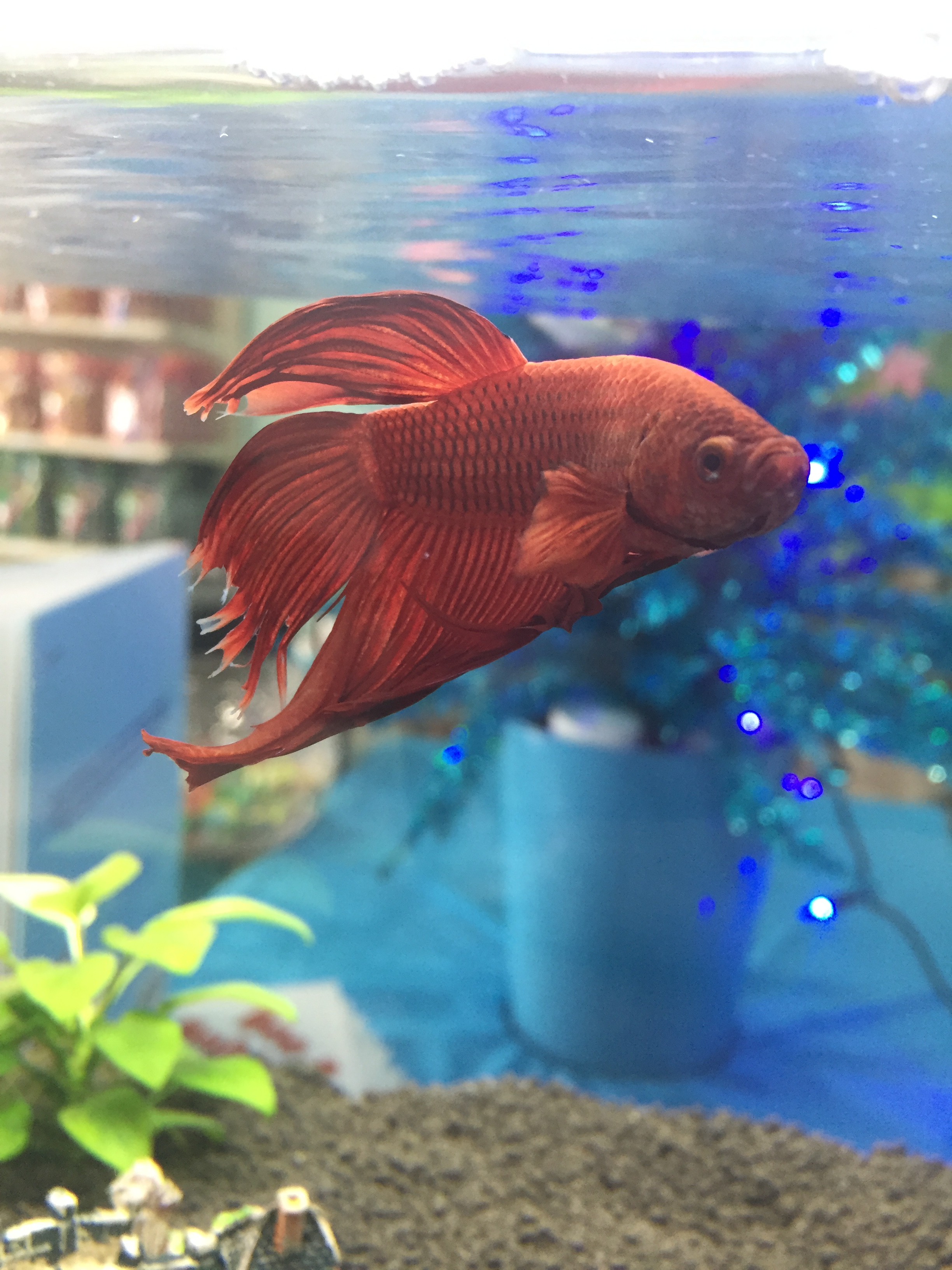 Dining A Month Laying At Bottom Betta Fish Not Eating Betta Betta Aquatic Veterinary Services Betta Fish Not Eating houzz-03 Betta Fish Not Eating