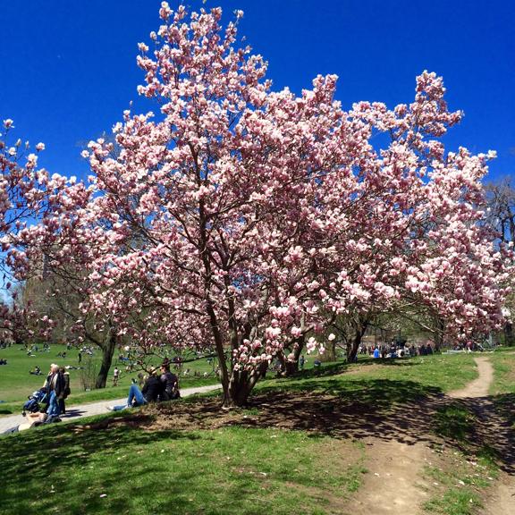Cherry Blossoms Prospect Park
