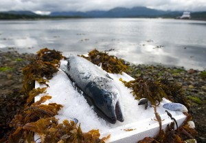 Scottish Salmon, delicious, high quality and healthy