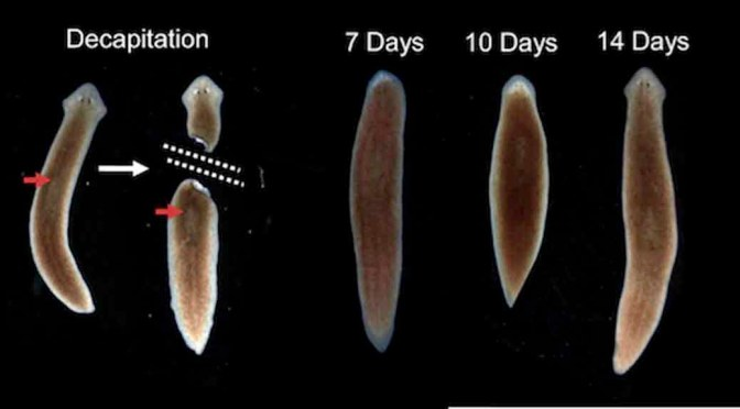Planarian Worm Cloning A Creature Was Never This Easy