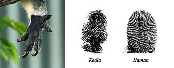 koala fingerprints