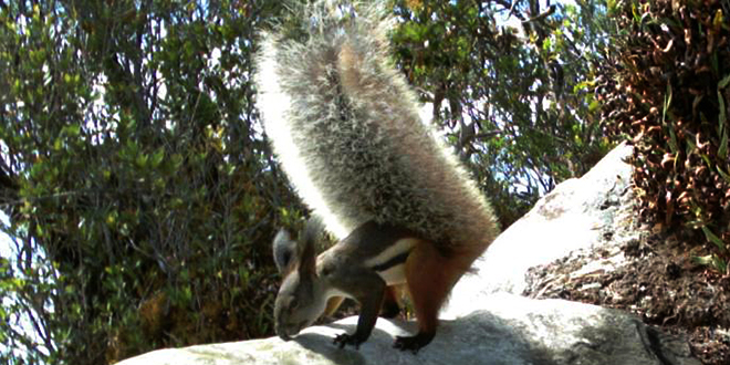 tufted-squirrel-feat
