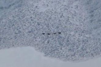 Goats fleeing an avalanche Screencap