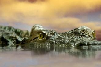crocodile-594305_1280