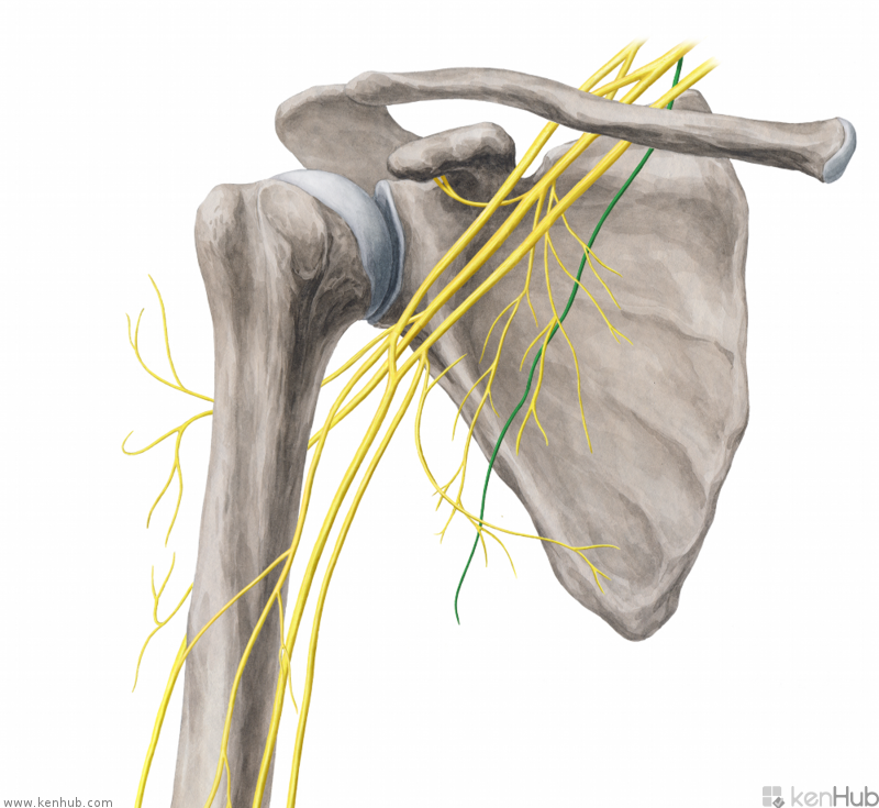Scapular muscle anatomy