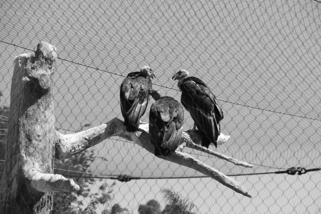 California Condors (which look a lot more like vultures than the majestic eagles I'd always pictured.)
