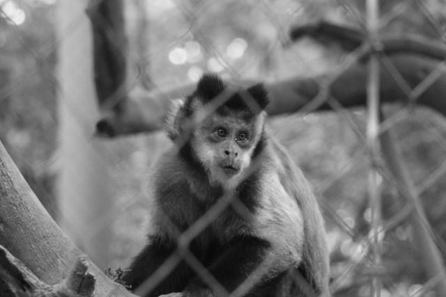 Capuchin not eating poisoned dates.