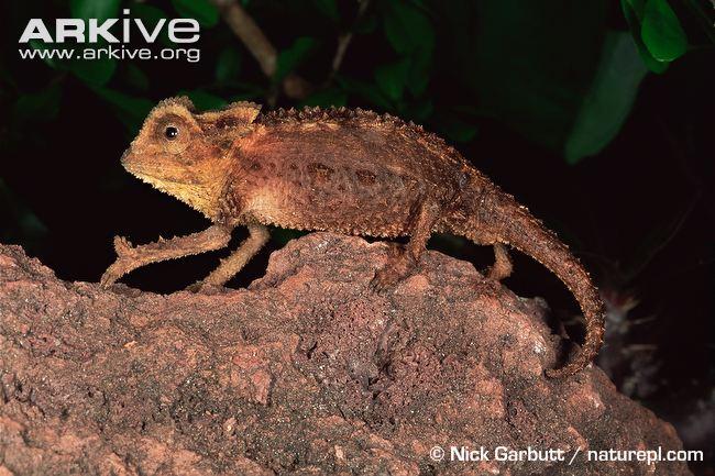 antsingy-leaf-chameleon