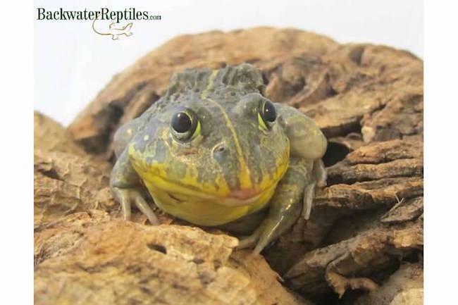 Pixie frog pet