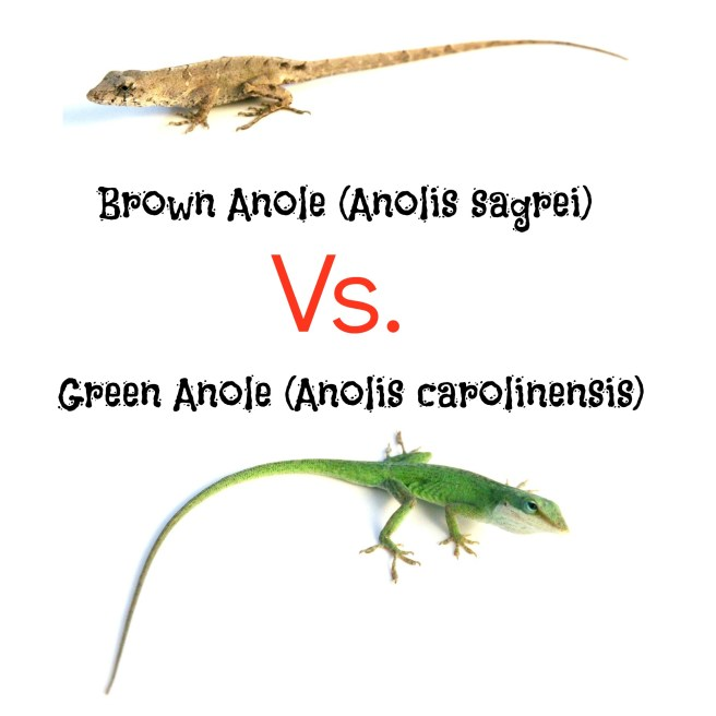 Green Anole vs. Brown Anole